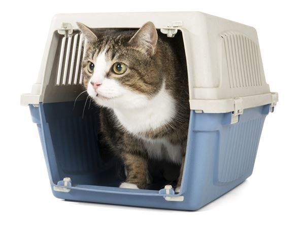 White and brown cat in blue and cream car basket